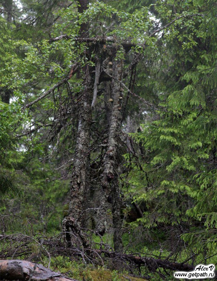 Лес на горе Воттоваара
